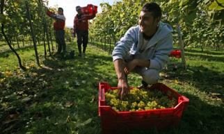 Migrant Romanian workers pick the last chardonnay grapes of the year in West Sussex. Photograph: Jason Alden/Rex Features